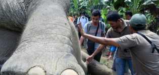 Kementerian LHK: Investigasi Penyebab Kematian Gajah Bernama Rambo di Lombok