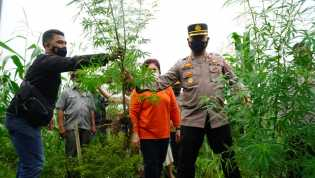 Polres Tanah Karo Gelar Pencabutan Ganja Bersama Bupati Karo Milik JP