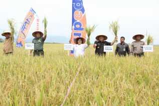 Program Swasembada Pangan, Bupati Karo Panen Padi di Laubaleng