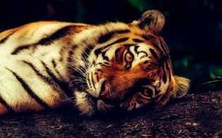 Ditembak Bius Saat Subuh, Harimau Bonita di Inhil Berhasil Ditangkap