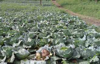 Harga Kol Rp 500/Kg,  Petani di Karo Ada yang Tidak Panen dan Biarkan Busuk di Ladang