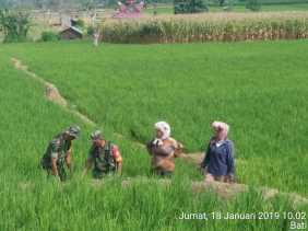 Babinsa Koramil 05/ Payung Bantu Petani Desa Batu Karang Bersihkan Sawah