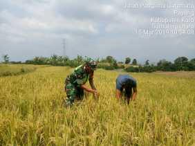 Sertu R Sihombing Bantu Panen Padi Milik Petani Desa Lau Buluh