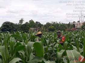 Upsus, Babinsa Dampingi Petani Penyiangan Tanaman Jagung di Desa Sukanalu