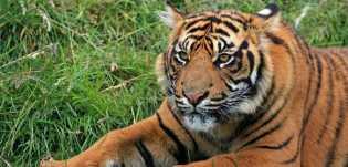 BBKSDA Riau Turunkan Tim ke Lokasi Munculnya Harimau ke Inhil
