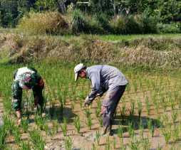 Ini Kegiatan Babinsa Dampingi Petani di Desa Juhar
