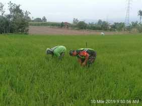 Babinsa Bersihkan Rumput Tanaman Padi Petani Desa Selandi