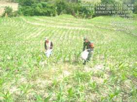 Babinsa Bantu PemupukanTanaman Jagung Milik Petani Desa Munthe