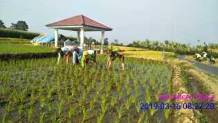 Giat Kodim 0205 TK, Swasembada Pangan: Babinsa Bantu Tanam Padi Milik Petani Desa Batu Karang