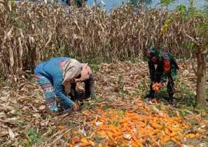 Babinsa Bantu Panen Jagung Milik Petani Desa Pernantin