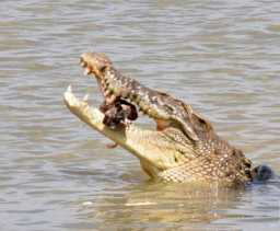 Buaya Serang Seorang Warga Desa Danau Lancang (Kampar)