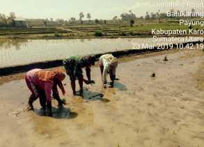 Babinsa Bantu Petani Menanam Padi di Batu Karang, Ini Penjelasan Danramil 05/Payung