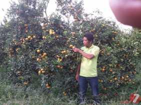 Harga Jual Jeruk Anjlok, Petani Desa Kutambelin (Karo) Rugi dan Ini Harapannya...
