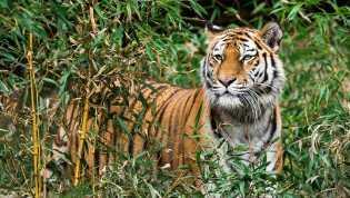 Harimau Bonita di Inhil Supaya Muncul, Masyarakat Gelar Ritual Keselamatan 'Sema Kampung'