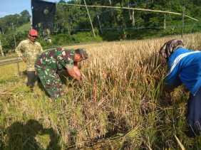Pelda J Pasaribu Bantu Panen Padi Milik Petani Desa Singgamanik
