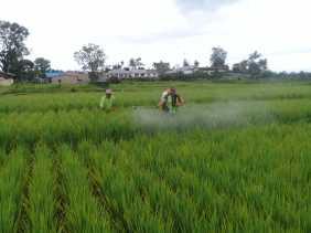 Serka Hasibuan Bantu Petani di Batu Karang Menyemprotkan Pestisida Tanaman Padi