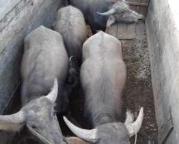 Supir Kabur Saat Polisi Karo Tanya Soal Surat, Ternyata Ada 4 Kerbau Diduga Curian dari Samosir