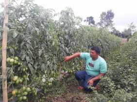 Hujan Turun Setiap Hari, Petani Ini Khawatir Daun Tanaman Tomat Miliknya Jadi Busuk