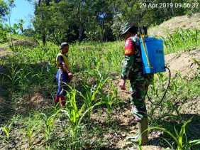 Antisipasi Serangan Hama, Babinsa  Bantu Penyemprotan Tanaman Padi Milik Petani Desa Juhar