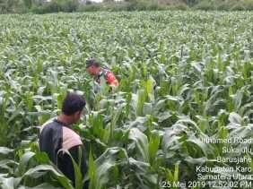 Babinsa Bantu Petani Basmi Hama Ulat Tanaman Jagungdi Desa Parinbun