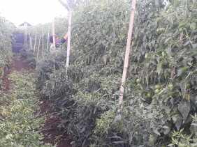 Petani di Karo Mengeluh Karena Rugi, Harga Jual Tomat Rp1000/Kg
