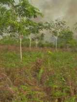 Ratusan  Kebun Masyarakat di Desa Segamai Ludes Terbakar