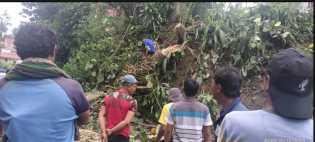Hujan dan Angin Kencang Terjang Desa Kuta Buluh Simole: Pohon, dan Tiang Listrik Tumbang