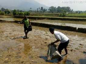 Babinsa Bantu Pemupukan Tanaman Padi Milik Petani Desa Batu Karang
