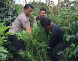 Ganja Diamankan Polsek Tiga Panah dan Polres Karo dari Perladangan Barung Kuburen