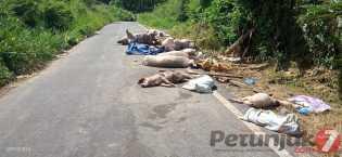 13 Ekor Bangkai Babi di Jalan Lingkar Kabanjahe, Siapa yang Buang? OTK Atau Oknum Peternak