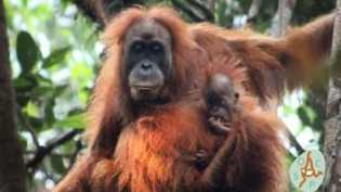 Orangutan Tapanuli di Batang Toru, Spesies Baru Orangutan yang Masa Depannya 'Terancam'
