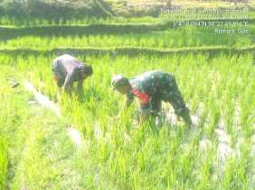 Babinsa Bersihkan Gulma Padi Petani di Tanjung Beringin, Dandim 0205/TK: Tingkatkan Ketahanan Pangan