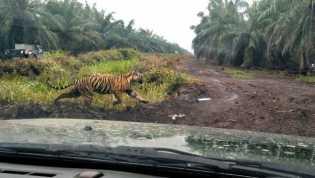 Hari ke-67 Belum Tertangkap, Manusia VS Harimau Bonita di Riau