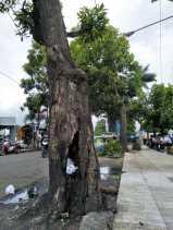 Keropos dan Busuk, Dua Pohon Besar di Tugu Salak Dinilai Ancam Keselamatan Pengendara