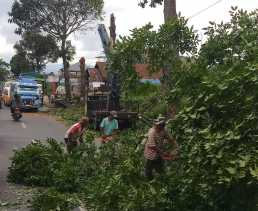 Penebangan Pohon Untuk Pelebaran Jalan Nasional di Kabanjahe - Berastagi Belum Rampung?