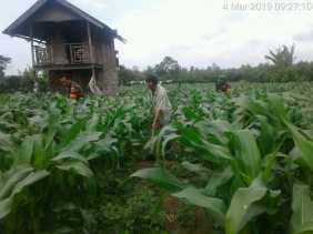 Serka Harianta dan Sertu Rahmat Bantu Penyiangan Jagung Petani Milik Jumhur Barus