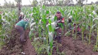 Perawatan Jagung, Babinsa Koramil 02/TP Bantu Kelompok Tani Sadapenggejapen di Tiga Panah