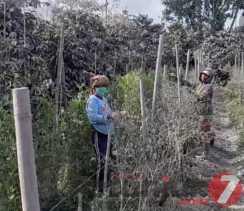 Dinas Pertanian Karo: Kerugian Dampak Awan Panas Gunung Sinabung Rp 29 Miliar