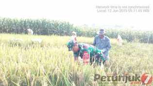 Swasembada Pangan: Babinsa Bantu Petani Desa Munthe Memanen Padi