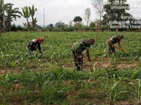Babinsa Bantu Penyiangan Gulma Petani Jagung Desa Parimbun