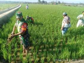 Babinsa Bantu Petani Bersihkan Gulma Tanaman Padi Desa Batu Karang
