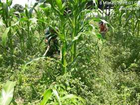 Serka M.Harianta Bersihkan Lahan Jagung Milik Petani Desa Barusjahe