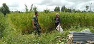 Cuaca Ekstrim dan Hama, Babinsa dan PPL Cek Tanaman Padi Petani Desa Sibolangit (Merek)