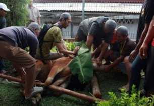 PTPN V Sembelih 317 Hewan Kurban di Idul Adha 2018