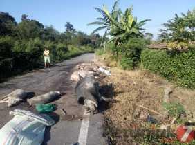 Ada Bangkai Babi di Jalan Lingkar Kabanjahe, Kadis Peternakan Karo: Waduh, Dimana Lagi Itu Pak!
