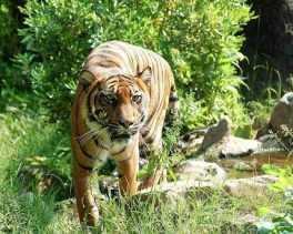 Kembali, BBKSDA: Seekor Harimau Mengejar Seorang Karyawan HTI di Inhil