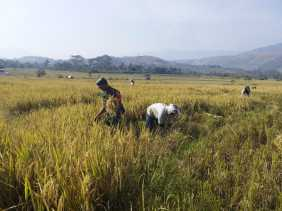 Babinsa Bantu Petani Panen Padi di Desa Perbulan
