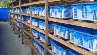 Bisnis Menggiurkan, Budidaya Cacing Lumbricus Rubellus di Desa Cimbang Mulai Produksi