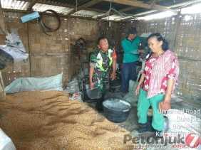 Upsus Pendampingan, Babinsa Bantu Panen Jagung Milik Petani di Tiga Jumpa