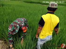 Pelda Darianto Bantu Petani Bersihkan Gulma Tanaman Padi di Desa Kutambelin
